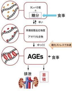 AGEsの蓄積する過程の画像.jpg