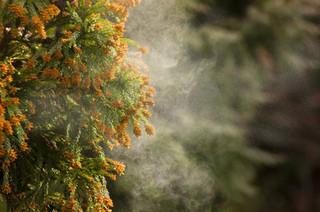 スギ花粉の画像.jpg