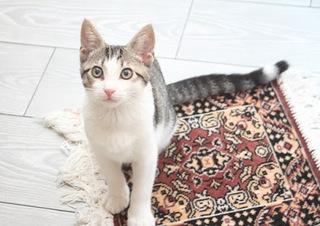 ペルシャ猫の画像.jpg